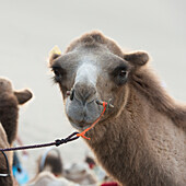 A camel with a peg through it's nose and a rope, Jiuquan, Gansu, China