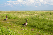 Greylag Geese with chicks, Anser anser, Langeoog Island, North Sea, East Frisian Islands, National Park, Unesco World Heritage Site, East Frisia, Lower Saxony, Germany, Europe