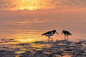 Oystercatchers in the mudflats at sunset, Haematopus ostralegus, Langeoog Island, North Sea, East Frisian Islands, East Frisia, Lower Saxony, Germany, Europe