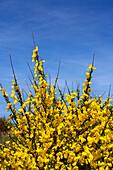 Broom, Cytisus scoparius, Juist Island, Nationalpark, North Sea, East Frisian Islands, East Frisia, Lower Saxony, Germany, Europe