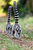 Kattas laufen, Lemur catta, Nahampoana Reservat, Süd-Madagaskar, Afrika