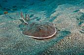 Juvenile Giant Electric Ray, Narcine entemedor, San Benedicto, Revillagigedo Islands, Mexico