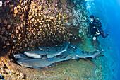 Whitetip Reef Shark resting in Cave, Triaenodon obesus, Roca Partida, Revillagigedo Islands, Mexico