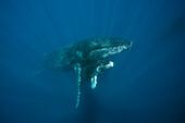 Humpback Whale, Mother and Calf, Megaptera novaeangliae, Socorro, Revillagigedo Islands, Mexico