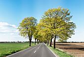 Tree-lined road near Rathstock, between Frankfurt/Oder and Kuestrin, Maerkisch-Oderland, Brandenburg, Germany