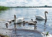 Swans and cygnets on the lake, Unteruckersee, Prenzlau, Uckermark, Brandenburg, Germany