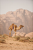 Dromedary, Wadi Rum Jordan, Middle East