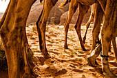 Close-up of several dromedaries, Wadi Rum, Jordan, Middle East