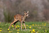 Roe Deer, capreolus capreolus, Fawn standing in Yellow Flowers, Normandy