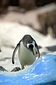 Captive penguins in Loro Parque, theme park at Puerto de la Cruz.