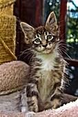 Maine Coom Kitten