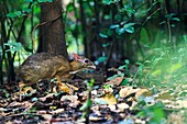 Lesser Oriental Chevrotain Tragulus kanchil finding food in the forest floor  Kaeng Krachan National Park  Thailand