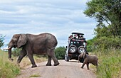Tanzania Africa Tanangire National Park with safari vehicle with tourists enjoying elephants crossing the road in jungle reserve wild animals