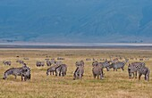 Tanzania Africa Ngorongoro Conservation Area crater with reserve and zebras animals in wild safari