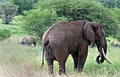Tanzania Africa Tanangire National Park with elephants in trees in jungle reserve wild animals