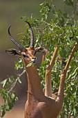 Gerenuk Litocranius walleri aka Waller´s gazelle feeding on bushes in Northern Kenya