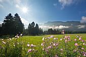 Flowers on a meadow, Tegelberg in the background, near Schwangau, Fuessen, Allgaeu, Bavaria, Germany