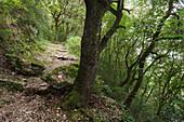 Trail with Holm Oaks, lat. Quercus ilex, near Spoleto, Via Francigena di San Francesco, St. Francis Way, St. Francis of Assisi, Spoleto, province of Perugia, Umbria, Italy, Europe