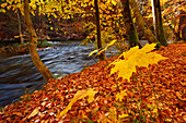 Beech trees and maple tree in autumn colours in valley of Wuerm, valley of Wuerm, Starnberg, Upper Bavaria, Bavaria, Germany