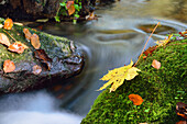 Leaves in autumn colours in a stream, valley of Wuerm, Starnberg, Upper Bavaria, Bavaria, Germany
