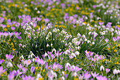 Close up of purple and white snowdrops, Galanthus, Germany, Europe