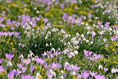Schneeglöckchen in lila und weiss, Galanthus, Deutschland, Europa