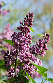 Purple lilac blossoms, Syringa vulgaris 'Sensation', Germany, Europe
