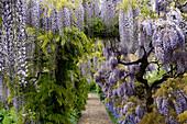 Wisteria floribunda, japanischer Blauregen, Deutschland, Europa