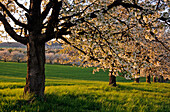 Blühende Kirschbäume bei Friedberg, Hessen, Deutschland, Europa
