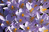 Purple snow crocus blossoms, Crocus tommasinianus, Germany, Europe