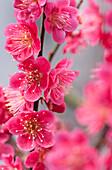 Japanische Aprikose, Prunus mume Beni-chi-dori, Deutschland, Europa