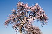 blühende Mandelbäume an der Weinstraße bei Bockenheim, Rheinland-Pfalz, Deutschland, Europa