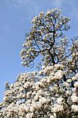 Tulpen-Magnolie, Magnolie, Magnolia x soulangeana, Deutschland, Europa