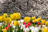 Tulpenblüte im Hermannshof Weinheim, Baden-Württemberg, Deutschland, Europa