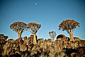 Quiver trees near Keetmanshoop, Namibia, Africa