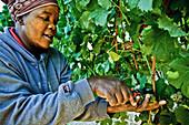 Woman picking wine grapes, Wine region near Stellenbosch, Western Cape, South Africa, Africa