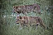 Two lionesses on Duba Island, Okavango Delta, Botswana, Africa