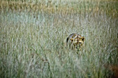 Lioness hiding in savannah grass, Okavango Delta, Botswana, Africa