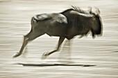 Wilderbeest running, Etosha National Park, Namibia, Africa