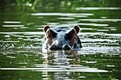 Hippopotamus in Nechisar-Nationalpark, South Ethiopia, Africa