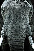 Head of an elephant, Close up, Kenya, Africa