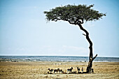 A group of Thomson's gazelles in the shade of an acacia tree, Masai Mara, Kenya, Africa