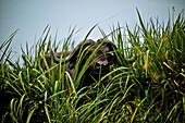 Buffalo in reeds, Murchison Falls National Park, Uganda, Africa