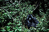Silverback male mountain gorilla in the jungle of the Volcanoes National Park, Ruanda, Africa