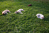 Four street dogs resting on the lawn in a city park, Tirana, Albania