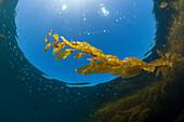Kelp Forest Giant Kelp, Macrocystis pyrifera, San Benito Island, Mexico