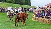 Ox racing in Muensing, Lake Starnberg, Bad Toelz, Wolfratshausen, Upper Bavaria, Bavaria, Germany