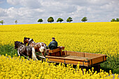 Horse-drawn carriage between blooming canola fields, Tanna, Thuringia, Germany