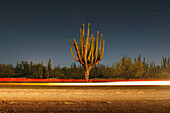 Cardon cactus at night with blur of a cars headlights in the foreground El Sargento, Baja California Sur, Mexico