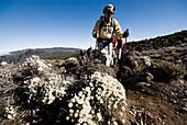 A senior man treks by wild alpine flowers in the high desert below Mt. Kilimanjaro Tanzania